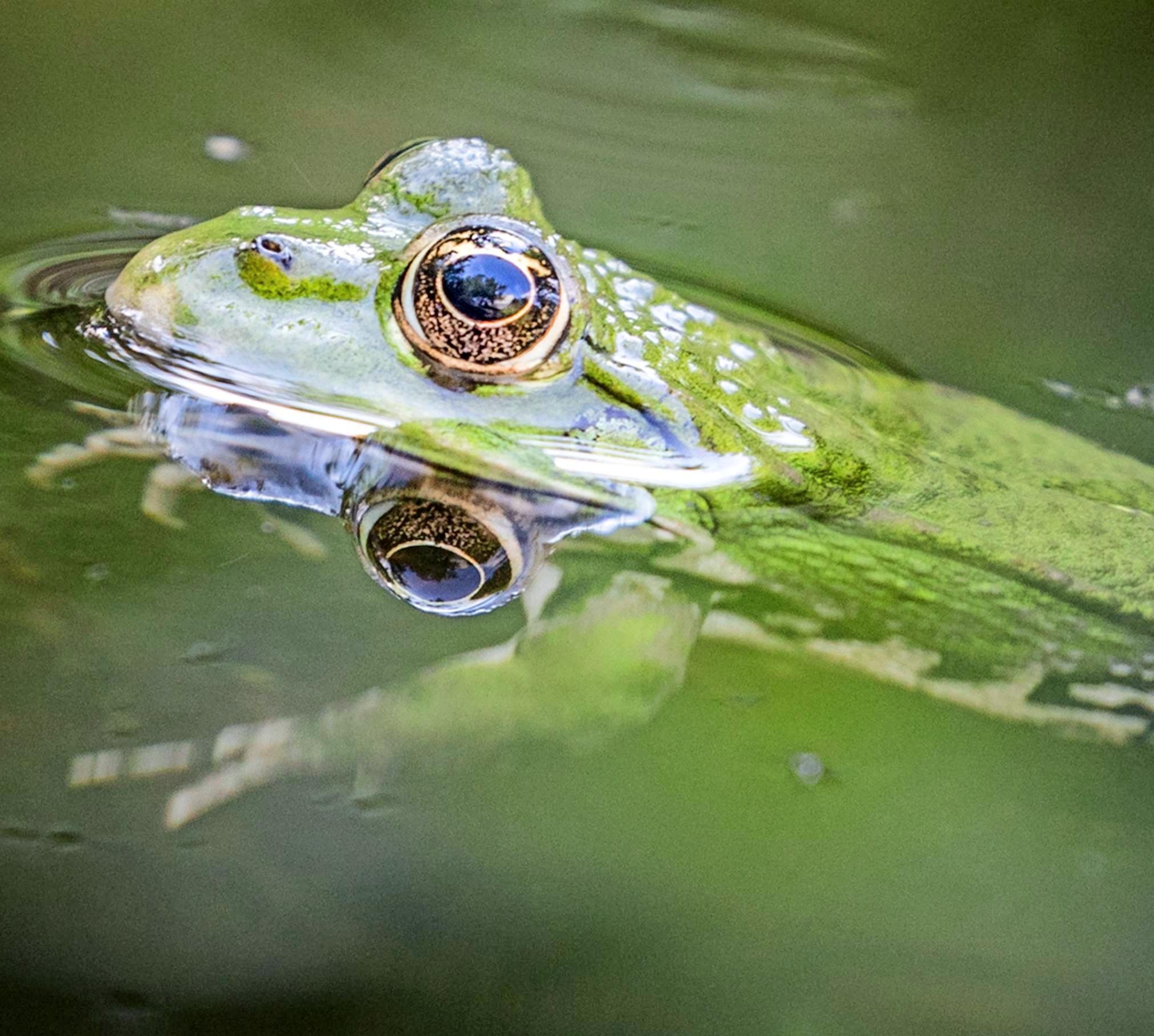 Groß war die Liebe der Tiefenbacher zu ihrem einzigen Frosch im Ort. Als dieser bei einem Unwetter fortgeschwemmt und schließlich von einem Müller gerettet wurde, errichteten die Dörfler ein hohes Geländer um den Feuersee. Foto: dpa