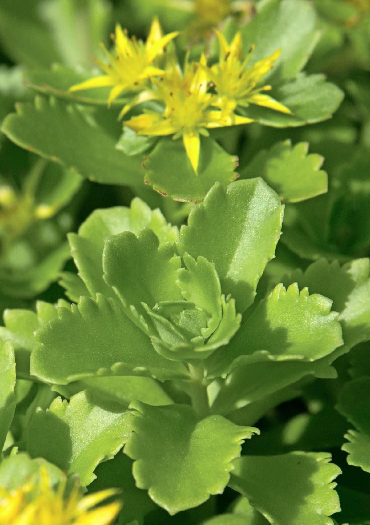 Sukkulenten wie die Gold-Wolfsmilch brauchen trockene Flächen.