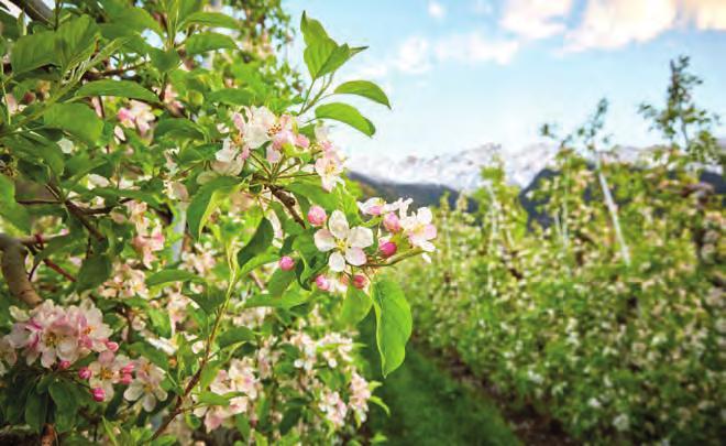 Im Frühling lockt die Apfelblüte, im Winter Schneeschuhwandern. Foto: IDM Südtirol/Stefan Schütz