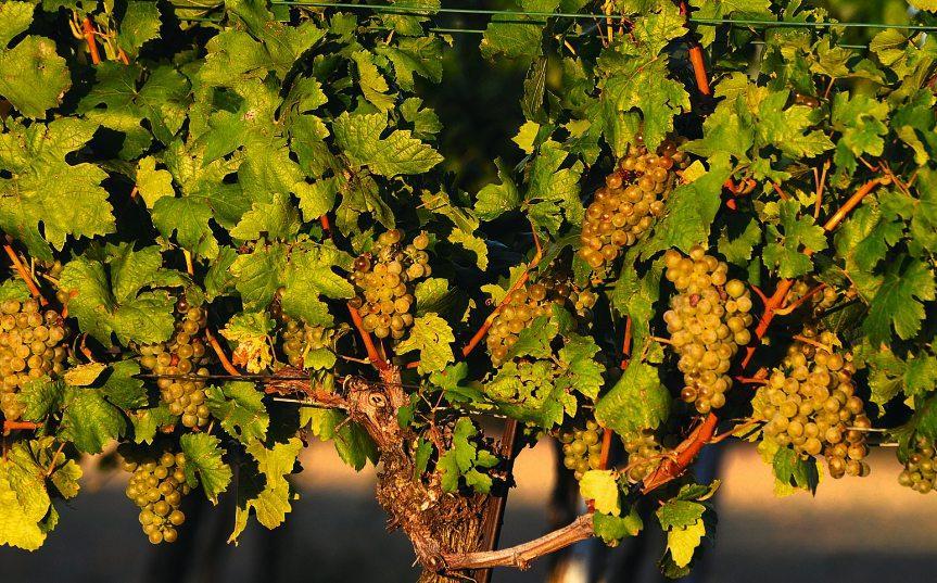 Die Weinrebe gilt als eine der Welt. Bereits 3500 vor Christus wurde fleißig gekeltert.Foto: WTG/Mandl