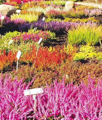 Im erneuerten Heidegarten in der Baumschule Hachmann stehen viele verschiedene Sorten in schönster Blüte