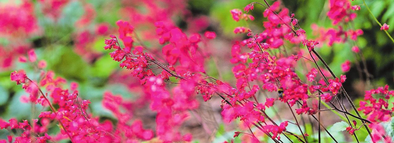 Purpurglöckchen (Heuchera) gehören zu den dauerhaften Pflanzen.FOTO: ANDREAWARNECKE/DPA