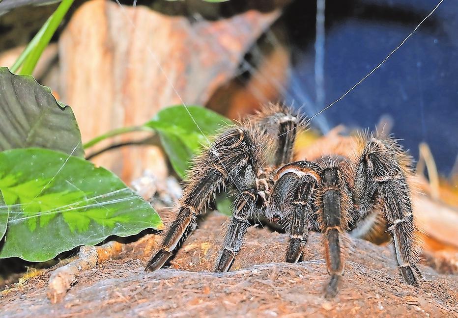 Auch wenn sie Fäden spinnen kann, baut sie kein Netz: Die Brasilianische Riesenvogelspinne ist eine Jägerin. Foto: Urweltmuseum Geoskop