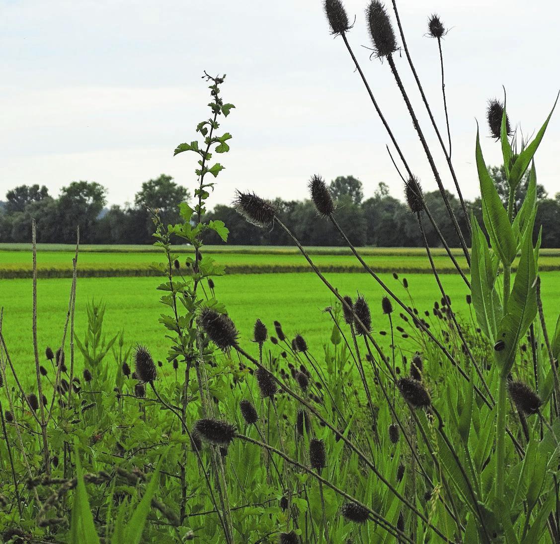 Landwirtschaft und Natur als Partner. Das freut nicht nur die vielen Störche rund um Altreu. Bild: D.S.