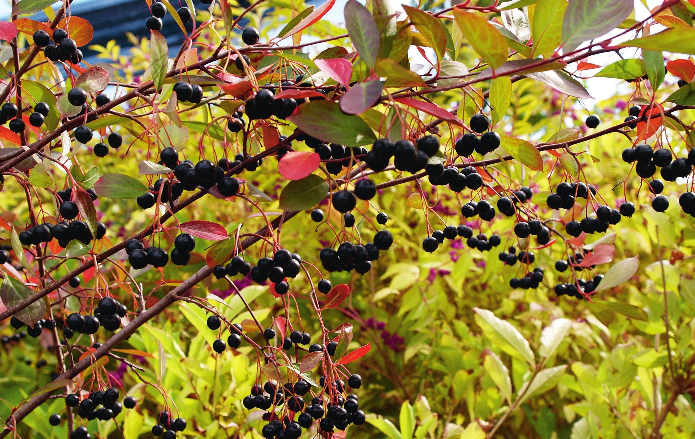 Wildobst ist vielseitig in Verwendung: Aronia melanocarpa 'Hugin'. Foto: Kordes Jungpflanzen