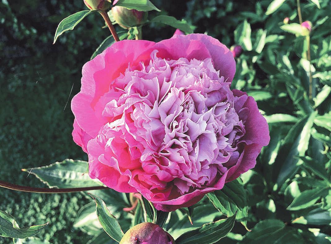 Mit Pfingstrosen lässt sich ein farbenfrohes Blumenbeet gestalten. Foto: pixabay/fruity-shapes