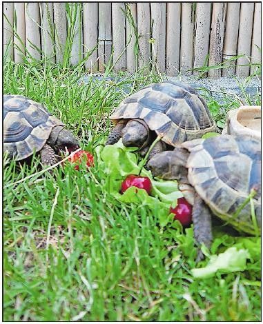 Anspruchsvolle Haustiere: Schildkröten benötigen spezielle Erde, die auch die Baumschule verkauft. FOTO: BRÄUNLING