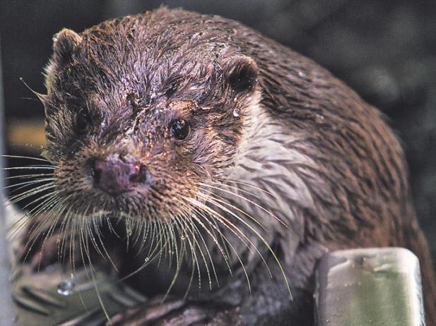 Otter Abate ist bei Kindern beliebt.Foto: Wildpark Reuschenberg