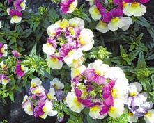 """Die """"Beerenschnute"""" blüht in Vanillegelb und beerigem Violett"""
