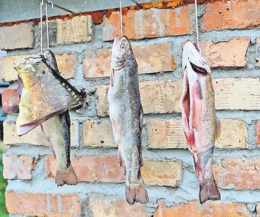 Saiblinge und Karpfen müssen vor dem Räuchern trocknen.