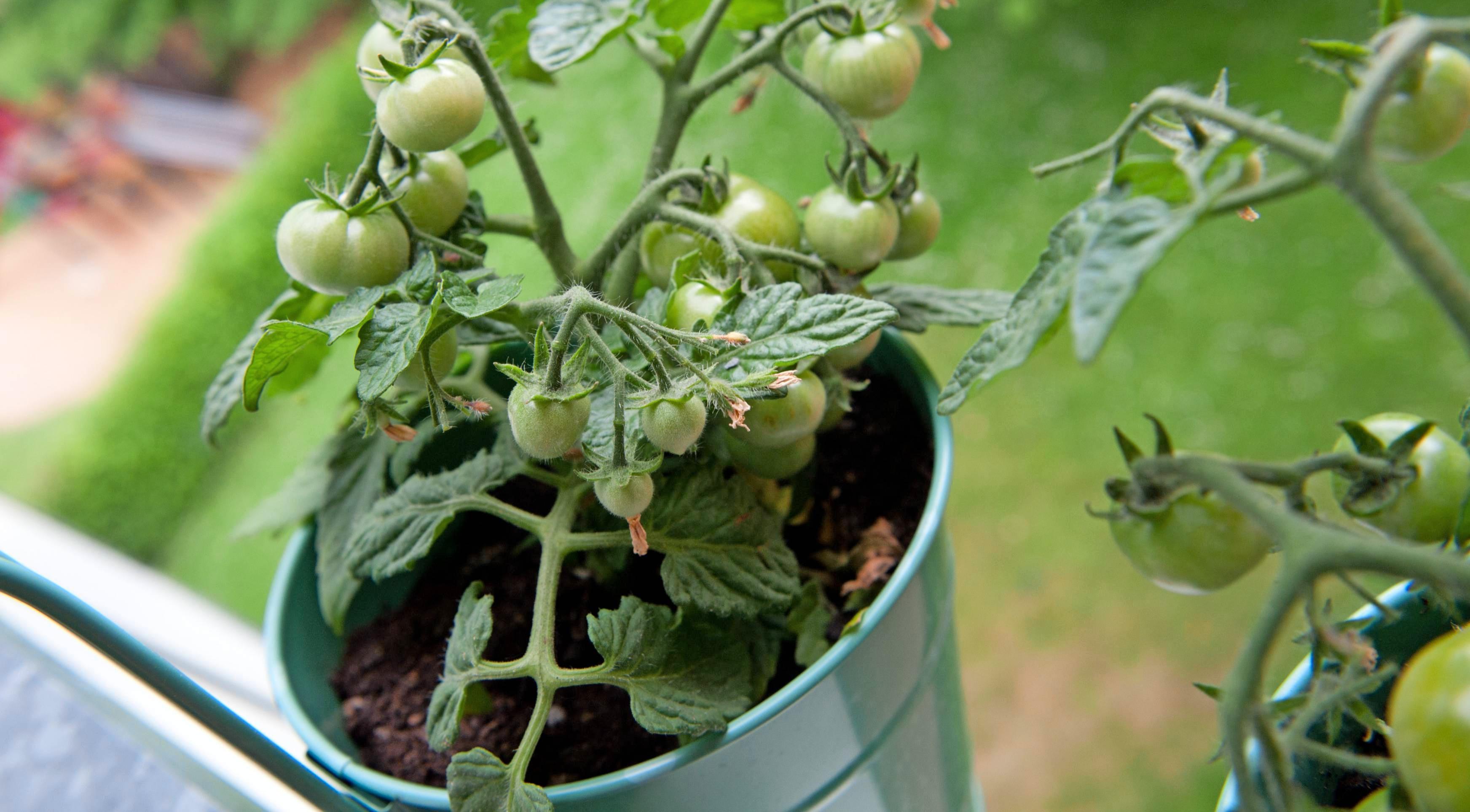 Mini-Tomaten wachsen ebenso gut in Balkonkästen und kleinen Töpfen wie allerlei Küchenkräuter. Fotos: dpa