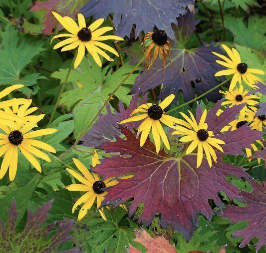 Dauerblüher: Selbst nach den ersten Frösten stellt der Sonnenhut (Rudbeckia) die Blüte nur widerwillig ein. Herrlich wirkt dazu das rot überlaufene Laub einer Ligularia. Bild: GMH/Bettina Banse