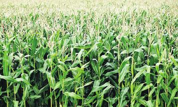 In den Maisfeldern des Uhlenhoffs wird es wieder ein Labyrinth geben