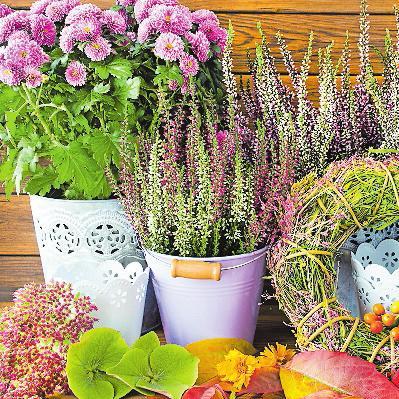 Gehören zum Herbst: Chrysanthemen und Herbstheide. FOTO: PHOTOSG/STOCK.ADOBE.COM