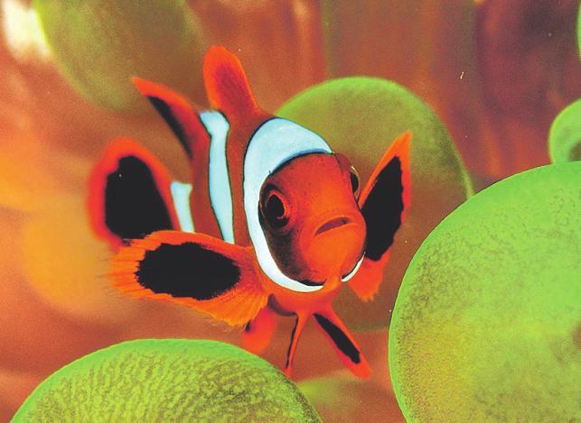Bunte Fische auf eine möglichst stilvolle Art zu fotografieren, wird bei der WM von Bedeutung sein Bild: Peter Schultes UW-PIC.de
