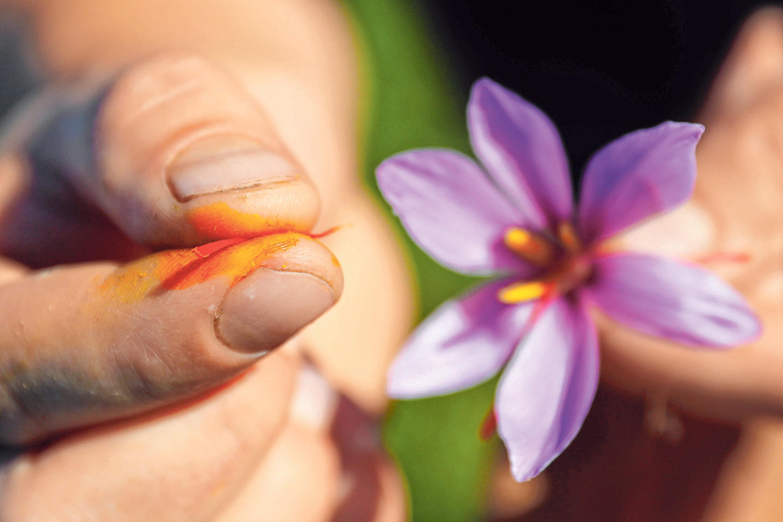 Eine besonders wertvolle Kulturpflanze ist der Safrankrokus. FOTO: DANIEL KARMANN