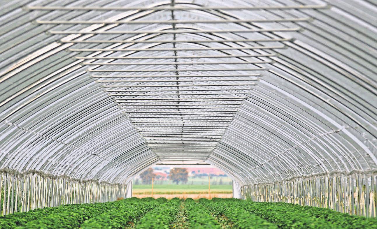 In großen Gewächshäusern werden die Erdbeeren angebaut.