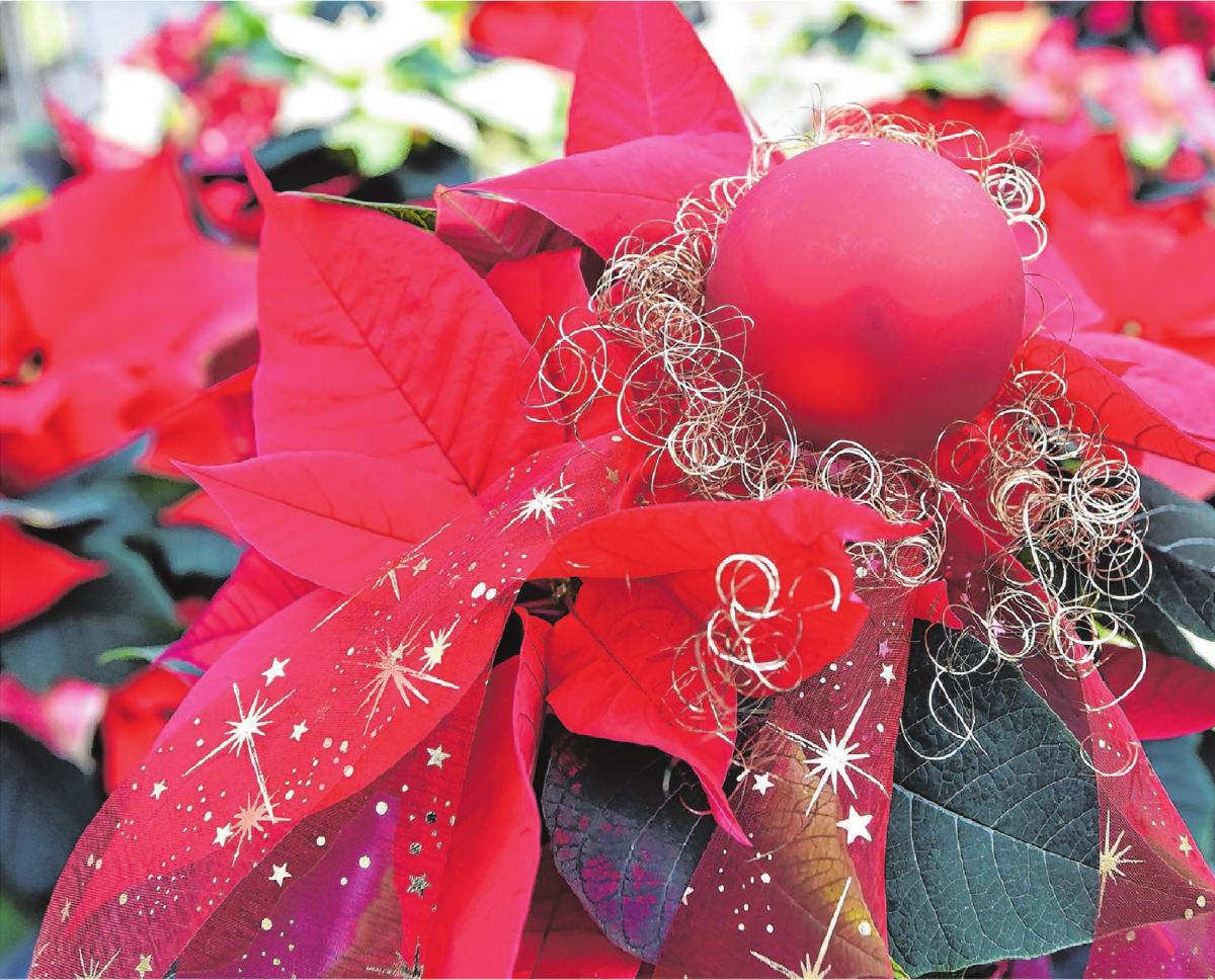 Ein weihnachtlich geschmückter Weihnachtsstern ist eine stimmungsvolle Dekoration für die kommende Adventszeit. Symbolfoto: dpa/Bernd Settnik