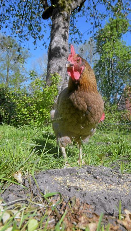 Aufs Huhn gekommen Image 5