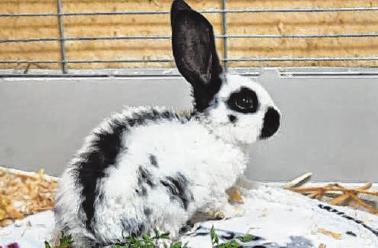 """Harlekin. Der etwa acht Wochen alte Kaninchenbock der Art """"Deutscher Riese"""" wurde aus schlechter Haltung befreit."""