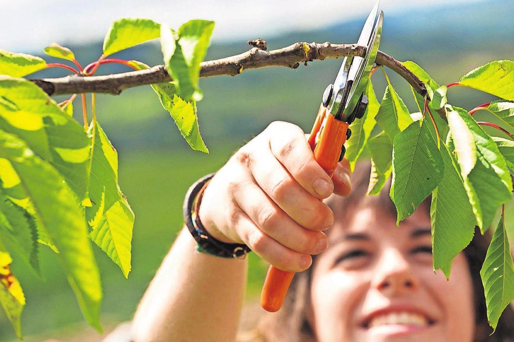 Mit einem Rückschnitt schaffen Gartenbesitzer im Herbst die Basis für eine reiche Ernte in der kommenden Saison. Foto: djd/STIHL