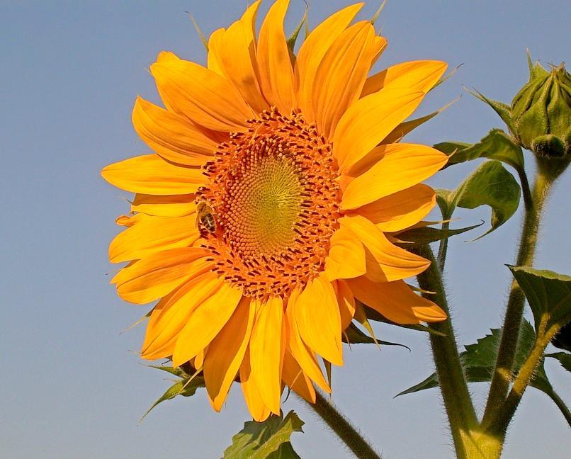 Sonnenblumen werden bald viele Gärten schmücken. FOTO: VOLKER HUBER