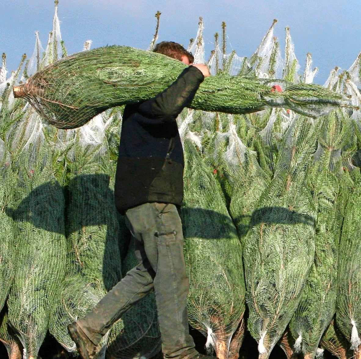 Jährlich werden in Deutschland 30 Millionen Christbäume verkauft. Wer lange Freude daran haben will, setzt auf frische geschlagene Tannen aus der Region. Foto: dpa