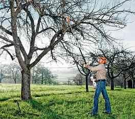 Wer seine Obstbäume frühzeitig lichtet, kann sich in der neuen Saison auf eine reiche Ernte freuen. Beim regionalen Fachmann sind solche Arbeiten in guten Händen. FOTO: DJD/STIHL