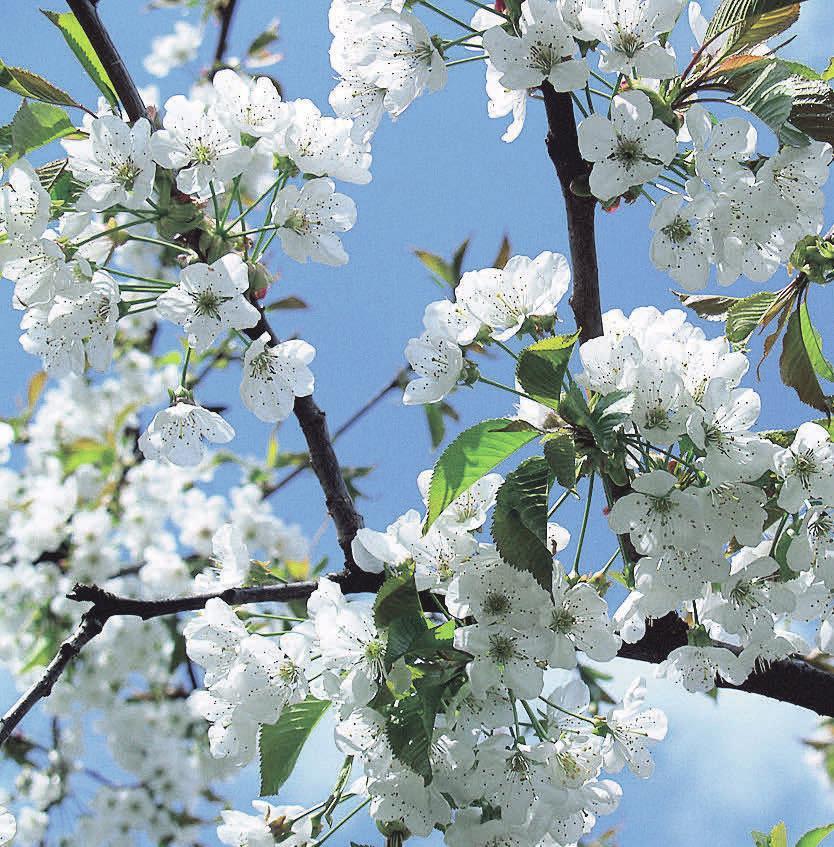 Kirschbäume tragen nicht nur leckere Früchte, ihre Blütenpracht ist zudem wunderschön. Foto: Pixabay.com
