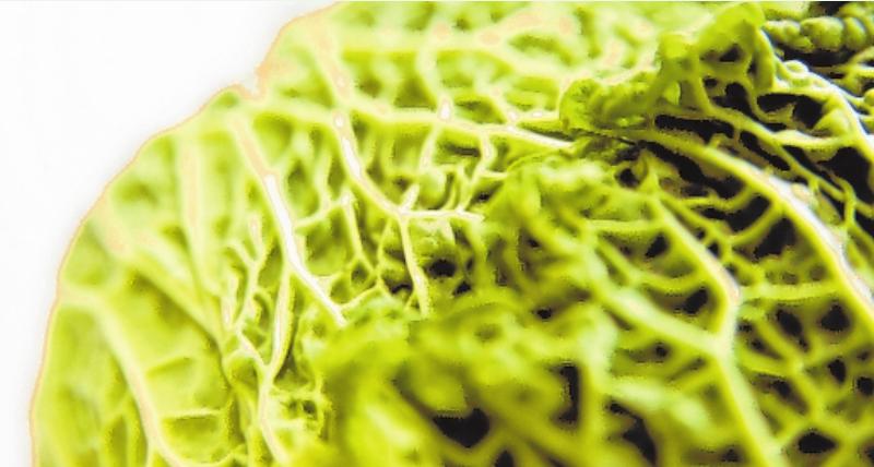 Wirsingköpfe haben dunkelgrüne, stark gekrauste Blätter. FOTO: ANDREA WARNECKE, MAG