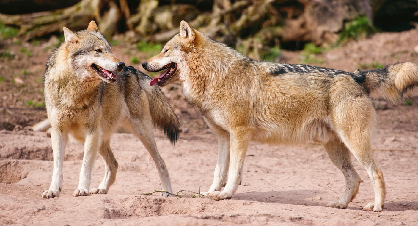 Europäische Wölfe in Tripsdrill. Foto: Tripsdrill