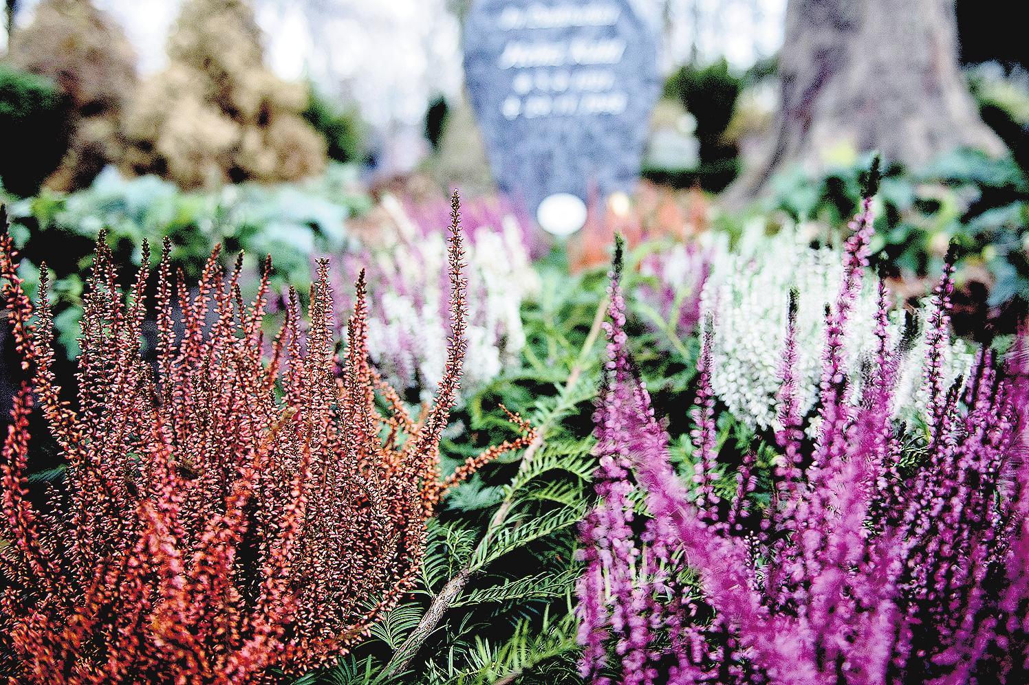 Neben der Dauerbepflanzung wird das Grab oft mit Wechselpflanzen bestückt – zum Beispiel mit Heidekraut. FOTO: DPA