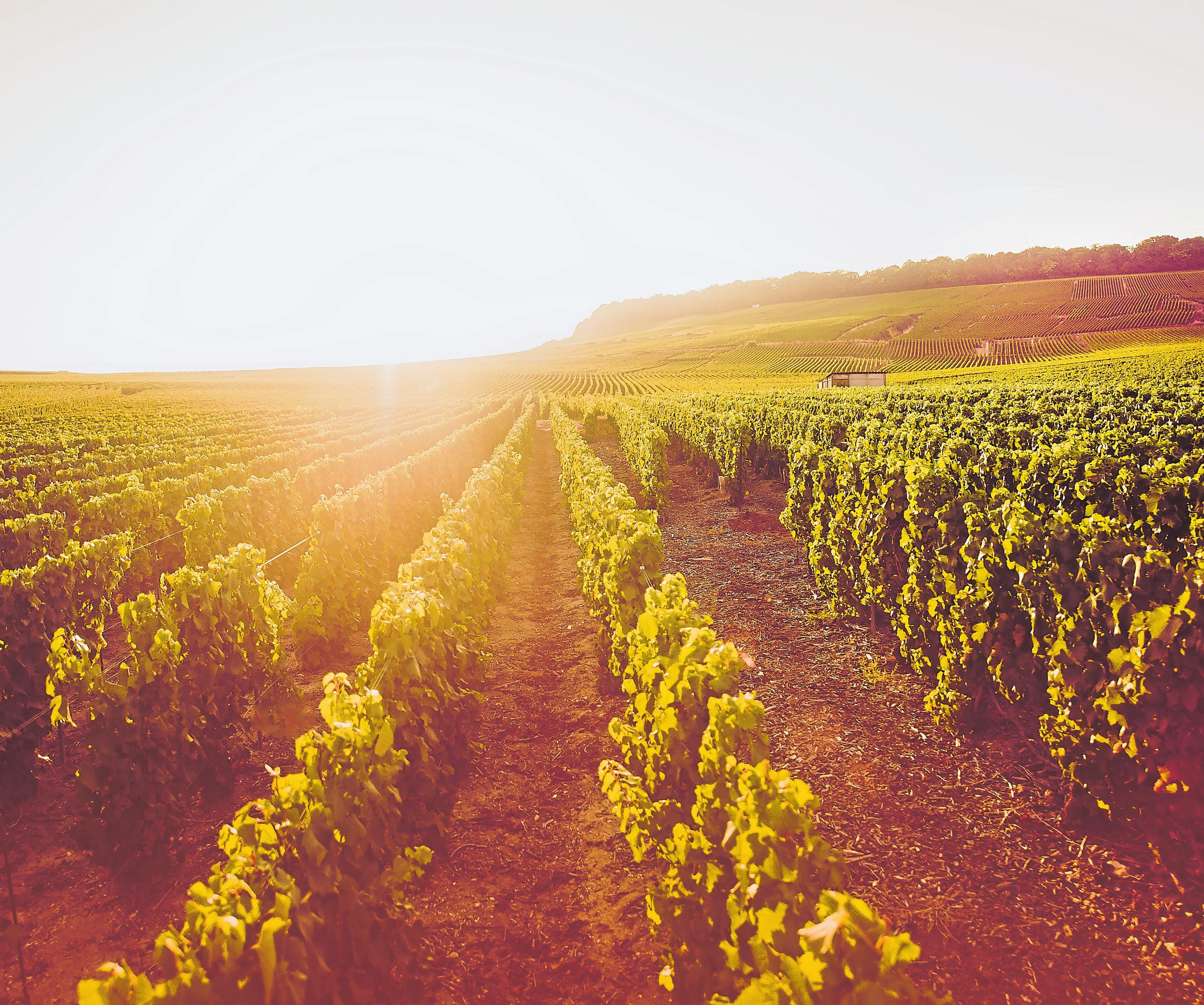Einen Großteil der Trauben, die für die De Saint-Gall-Schaumweine verwendet werden, stammen aus der Côte des Blancs.
