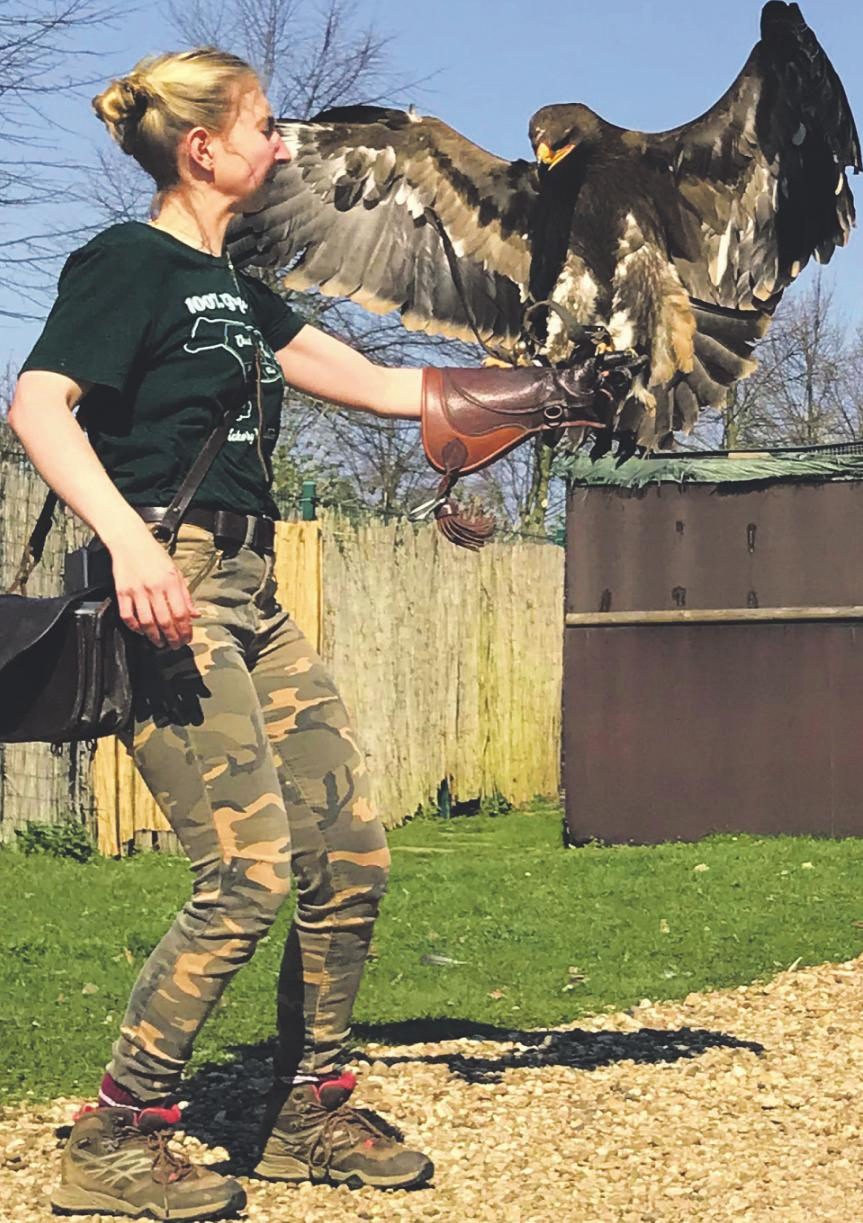 Falknerin Antonia Gernot empfängt Steppenadler Attila beim Landeanflug. Foto: Büge