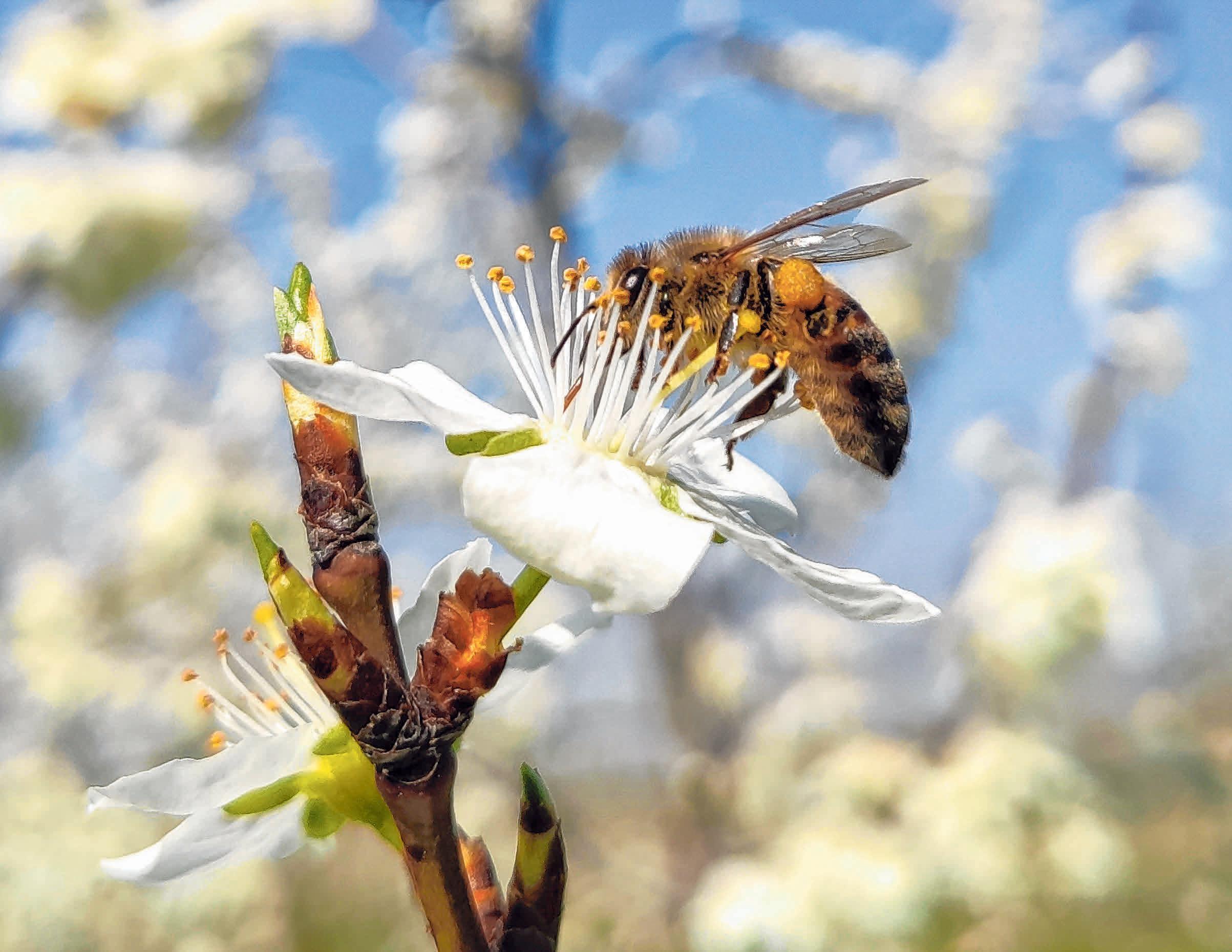 Eine Biene sammelt Blütenpollen. Bei den bald frühlingshaften Temperaturen blühen viele Blüten an den Bäumen. Foto: Patrick Seeger/dpa