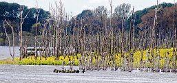 Weil sich durch die Wiedervernässung das Grundwasserregime ändert, sterben die bäume in der Großen Rosin ab. ©: Hartmut Nieswandt