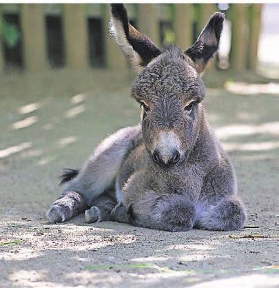 Große Freude gab es über die Geburt der Zwergesel-Stute Chalisa. Sie ist der erste Nachwuchs von Hengst Pedro und Stute Christa und nach zehnjähriger Babypause das erste Fohlen im Zoo Krefeld.