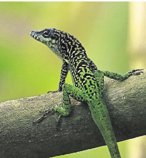 Heimliche Bewohner im RegenwaldHaus. Um die nur 20 Zentimeter großen Anolis (Saumfingerechsen) entdecken zu können, braucht es Geduld.