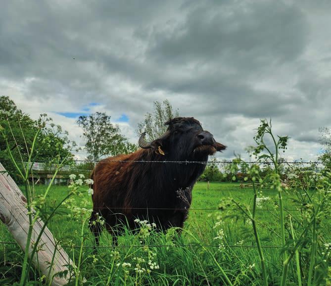 Landschaftspfleger der anderen Art: Die Wasserbüffel in Vörie. Foto: HMTG, C. Wyrwa