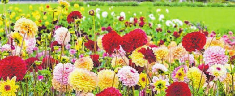 Farbenprächtig: Dahlien haben jetzt Saison. FOTO: FLUWEL