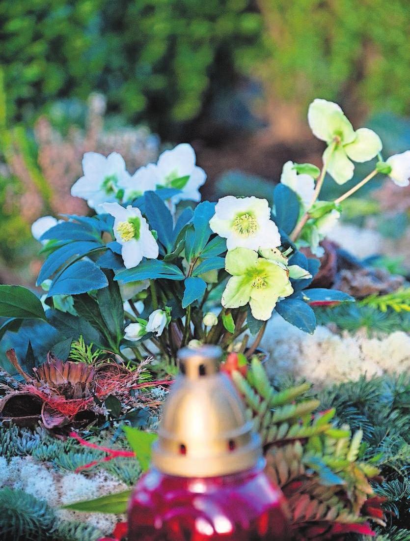 Christrosen setzen im Winter schöne Akzente.