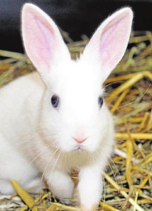Jack Frost. Er kam mit seinen zwei Schwestern ins Tierheim. Die drei sind neugierig, sehr lieb und etwa vier Wochen alt.. Die Kaninchendamen können bald in ein neues Zuhause, Jack sobald er alt genug ist für die Kastration. Die Kaninchen brauchen Platz, Auslauf im Freien und Artgenossen.
