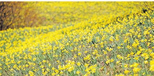 Frühlingsbeginn in Ostbelgien: ein Meer aus wilden Narzissen. Foto: ostbelgien.eu