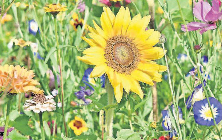 Die Sonnenblume ist ein Inbefriff für die warme Jahreszeit und verschönert jeden Garten.