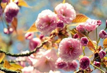 Schnell wachsende Bäume wie die Japanische Nelkenkirsche sorgen nach wenigen Jahren schon für die gewünschte Optik. FOTO: PIXABAY.COM/BUND DEUTSCHER BAUMSCHULEN E.V./AKZ-O