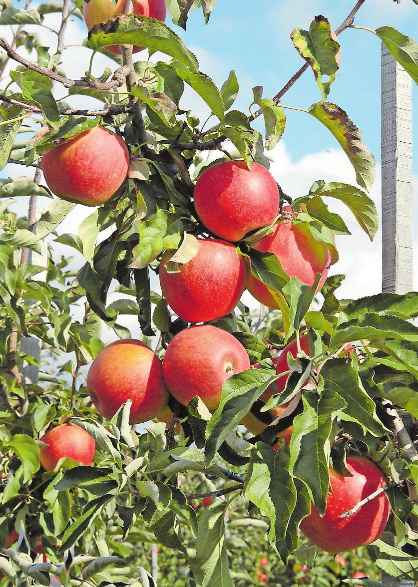Wird ab Anfang Oktober geerntet, lässt sich von November bis in den Mai genießen und eignet sich gut als Bratapfel: Pinova. Foto: frei