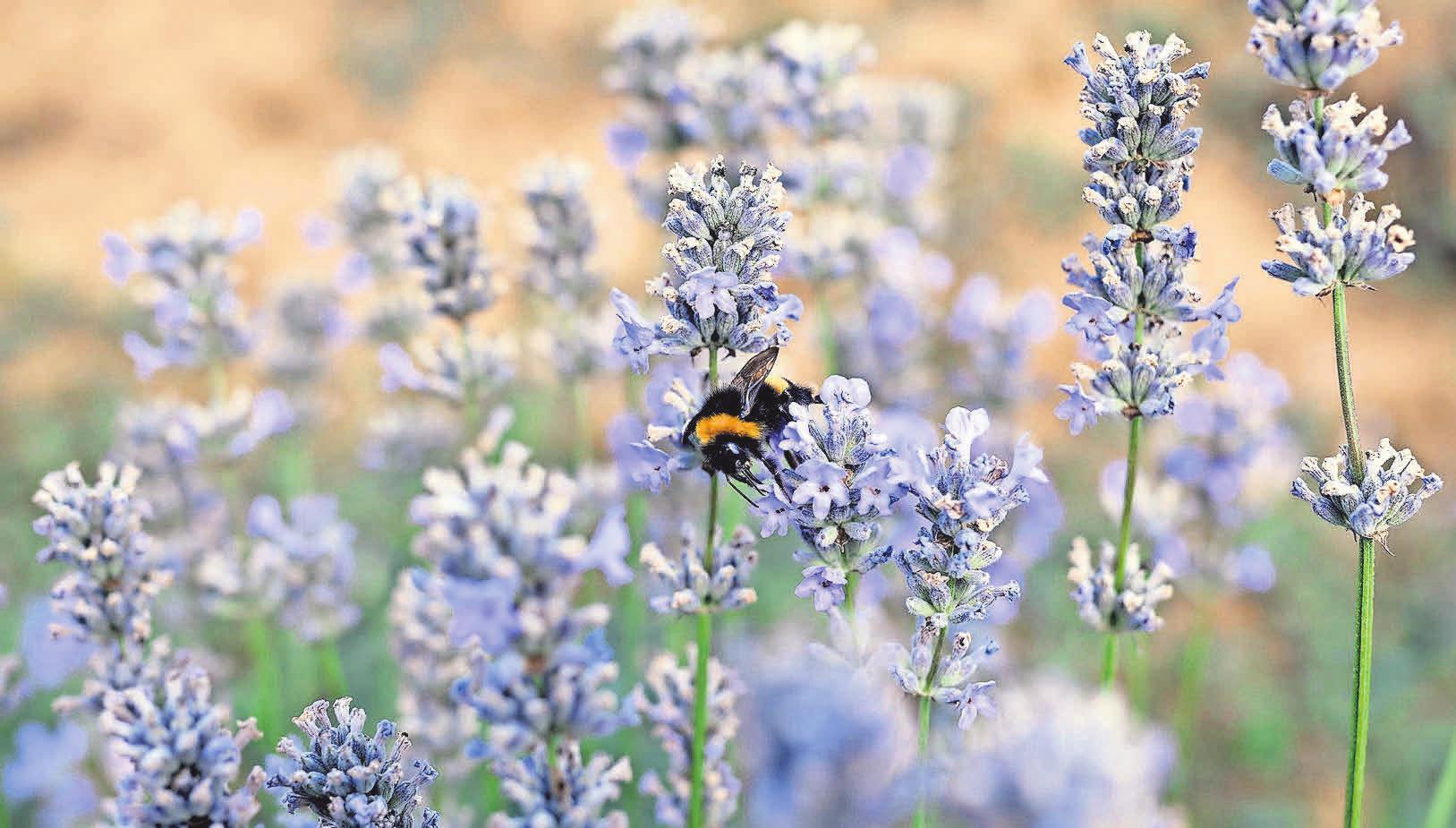 Der echte Lavendel ist eine Entdeckung der Klostermedizin. Als hochdosiertes Öl – wie in Lasea-Kapseln – bringt er Ruhe und erholsamen Schlaf zurück. Foto: Dr. Willmar Schwabe/akz-o
