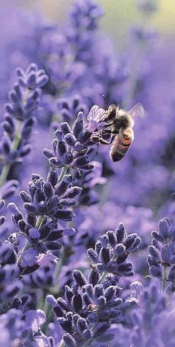 Lavendel sieht wunderschön aus, riecht gut, muss jedoch auch gepflegt werden. Foto: Pixabay.com